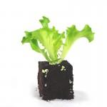 plant-batavia