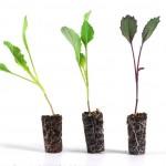 plants-choux