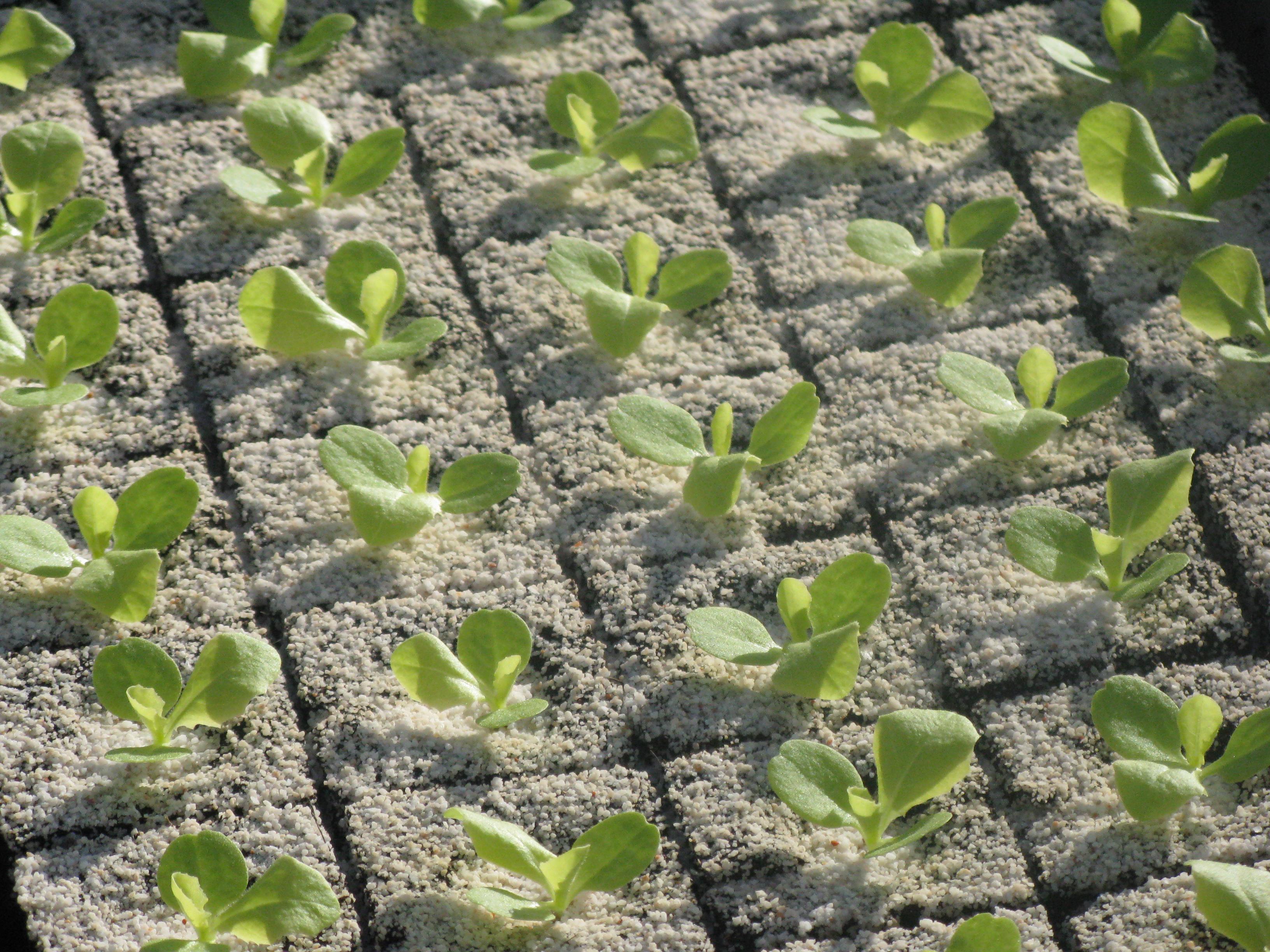 la cha ne de production de salades hortival plants maraichers. Black Bedroom Furniture Sets. Home Design Ideas