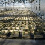 tomates en cubes laine de roche en cour d'élevage